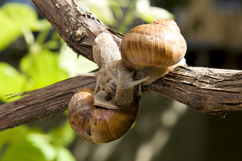 Two nice snails in a vine royalty free stock image