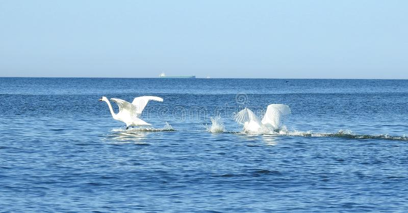 Beautiful swans in Baltic sea, Lithuania stock photos
