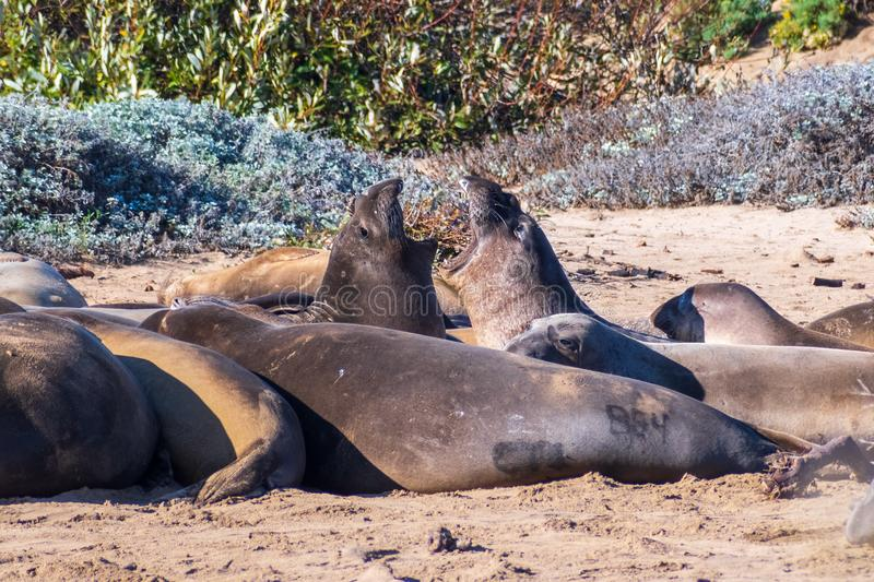 Two Northern elephant seals Mirounga angustirostris fighting during mating season while surrounded by other sleeping young males. Visible black paint tag, Ano stock photos
