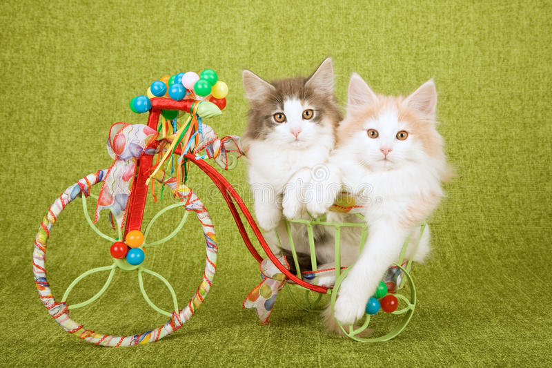 Two Norwegian Forest Cat kittens sitting inside decorated tricycle cart royalty free stock photo