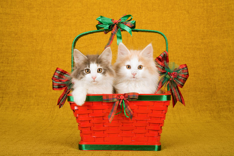 Two Norwegian Forest Cat kittens sitting inside red Christmas basket on gold background royalty free stock photos
