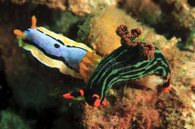 Download Two nudibranch stock image. Image of animals, nudibranch - 11142285