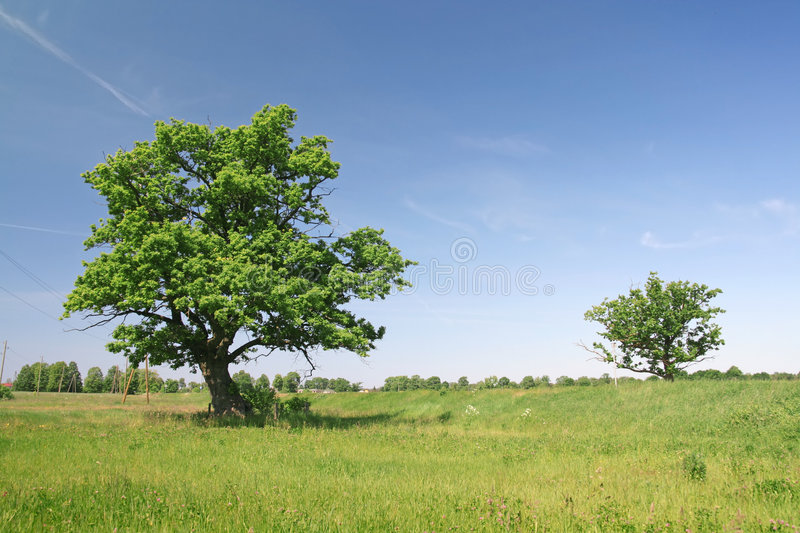 Two oak trees. Two Green oak trees on a grass field stock image