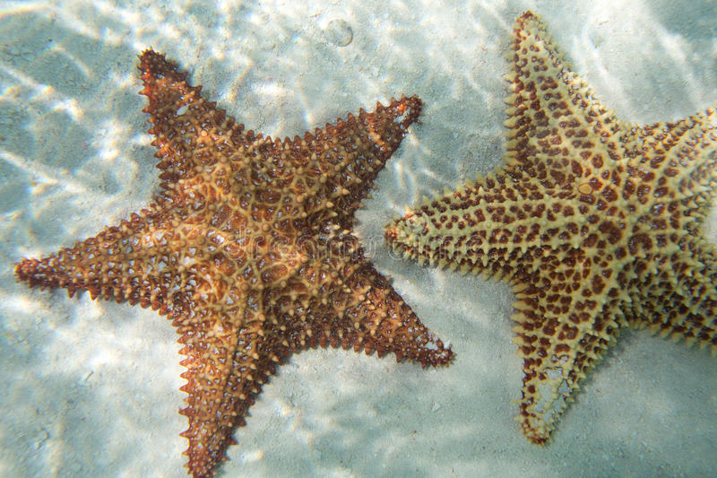 Two oange starfishs in a turquoise water stock image