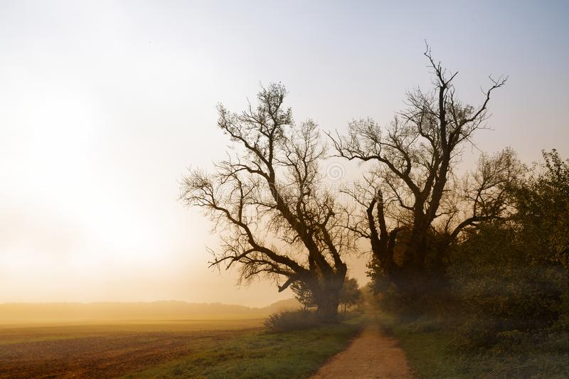 two old poplar trees with bare branches at a path next to a field in the misty morning sunrise light,autumn landscape with copy s royalty free stock image