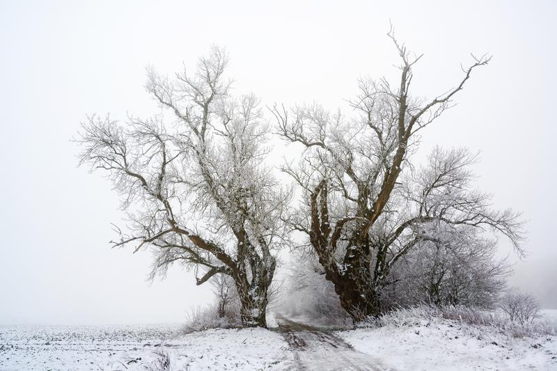 Two old poplar trees on a country lane in cold grey winter weather, copy space stock photography