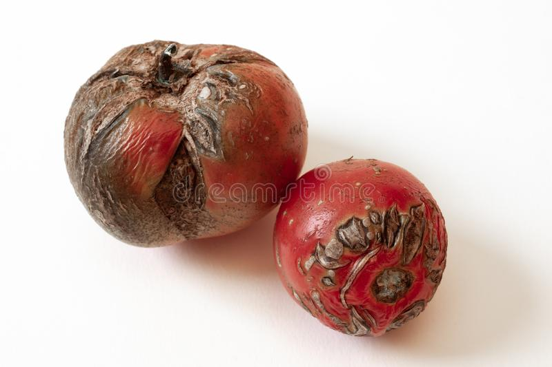 Two old, rotten tomatoes isolated on white stock photography