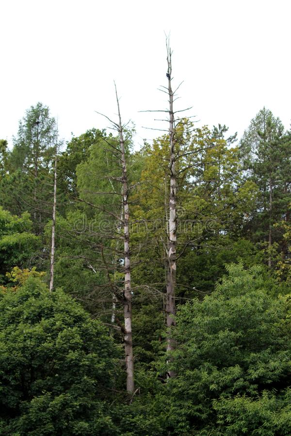 Two old tall narrow barren trees without any leaves growing above dense trees in local forest stock photography