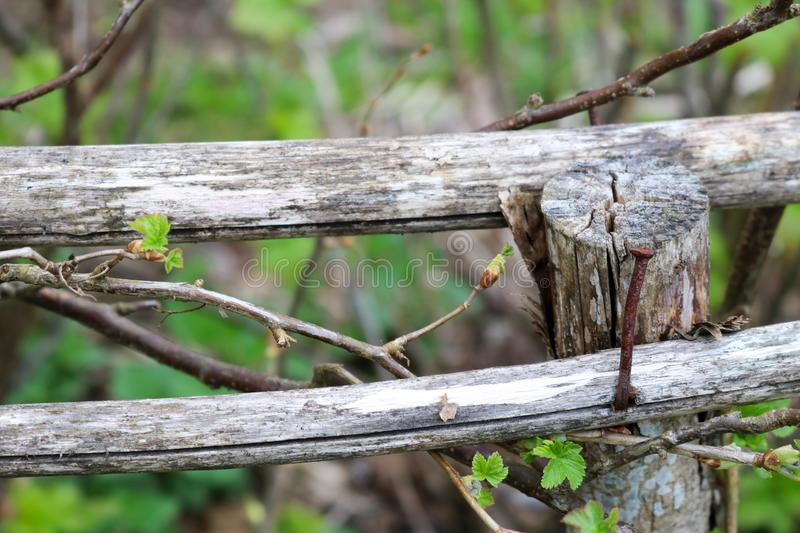 Two old wooden gray dry sticks, boards, branches and stuck in them rusty nail, background, royalty free stock images