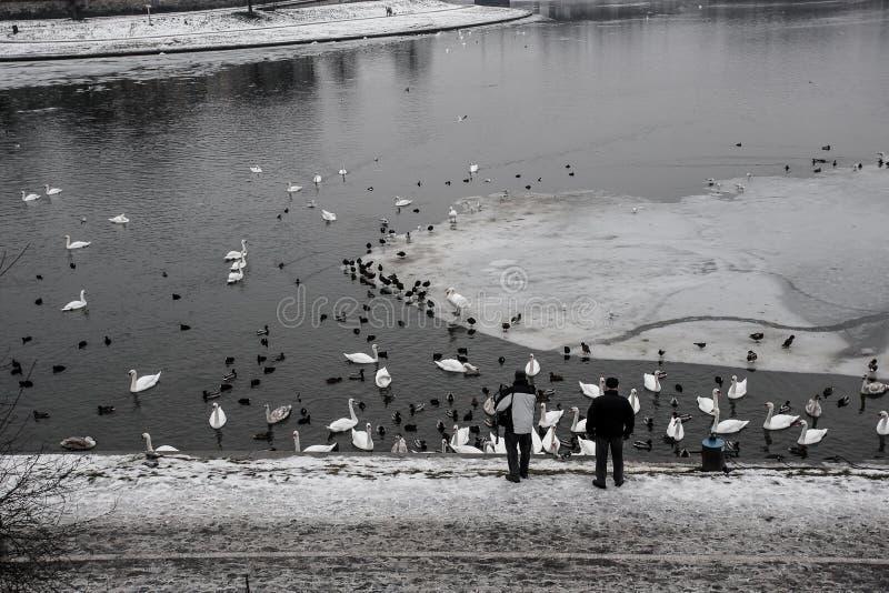 Two older men feeding ducks and swans by freezing river, Krakow, Poland royalty free stock photos