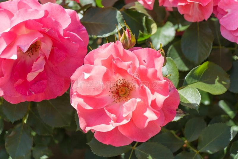 Two opened buds of pink roses in a garden. Top view stock photo