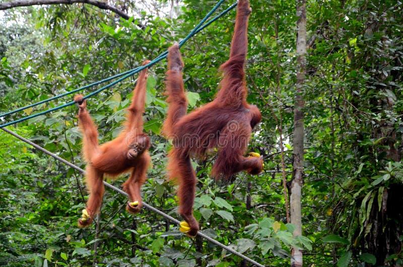 Two orang utan monkey apes on ropes with bananas at nature reserve Kuching Sarawak Malaysia. Kuching, Malaysia - October 12, 2018: Two playful orang utans royalty free stock image