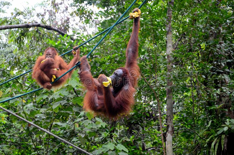 Two orang utan monkey apes on ropes with bananas at nature reserve Kuching Sarawak Malaysia. Kuching, Malaysia - October 12, 2018: Two playful orang utans stock photo