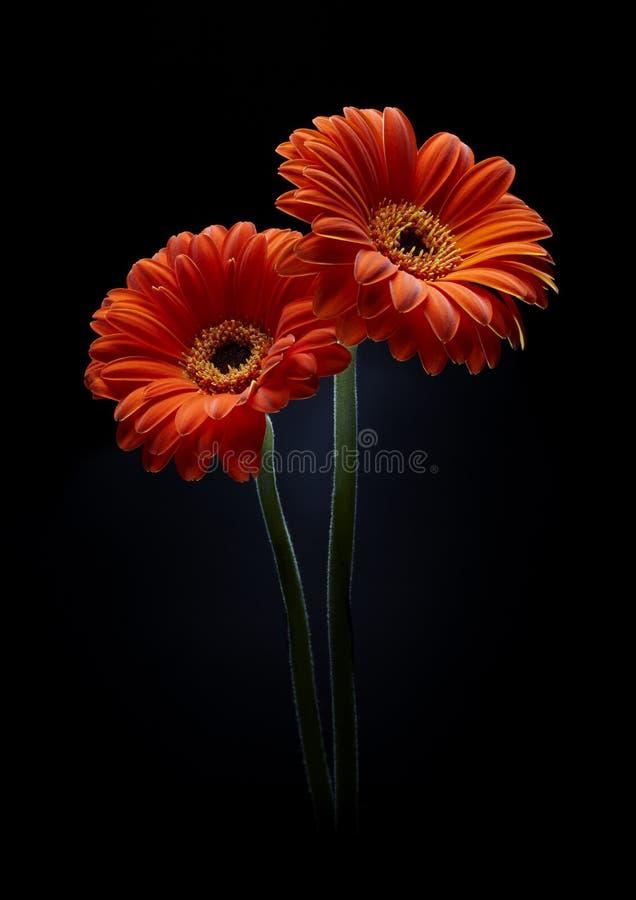 Free Two Orange Gerberas On Black Background Royalty Free Stock Photos - 14101278