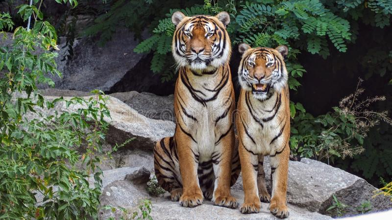 Two Orange Tigers Sitting Beside Each Other royalty free stock image