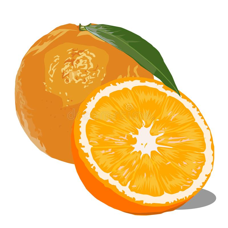Two oranges vector image royalty free illustration