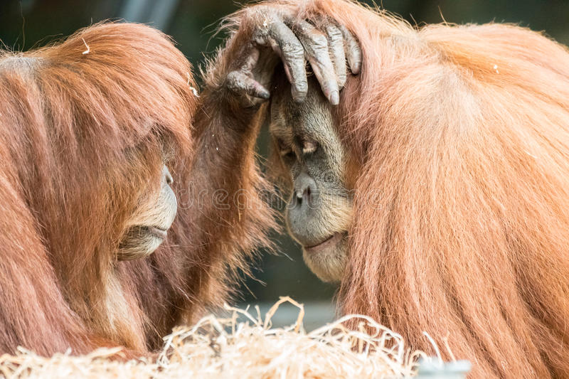 Two Orangutans Touch Each Other on the Face stock image