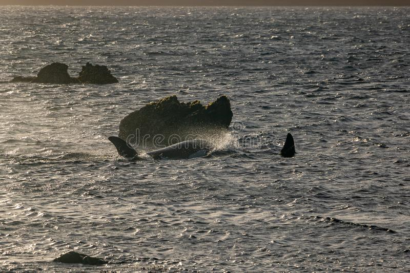 Two Orca Whales At sunset, Wellington New Zealand. Orca swimming around Wellington New Zealand, part of family pod traveling the region stock image