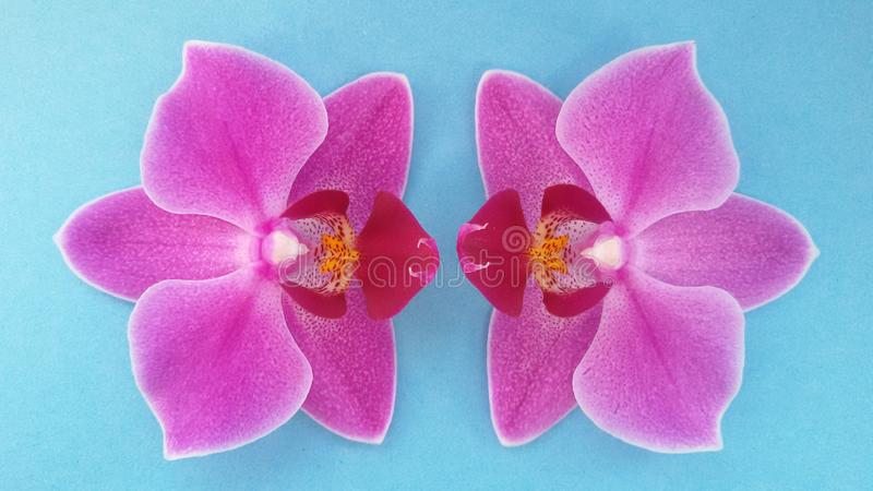 Two orchid flowers over blue background. Beautiful blossom. over blue. royalty free stock photography