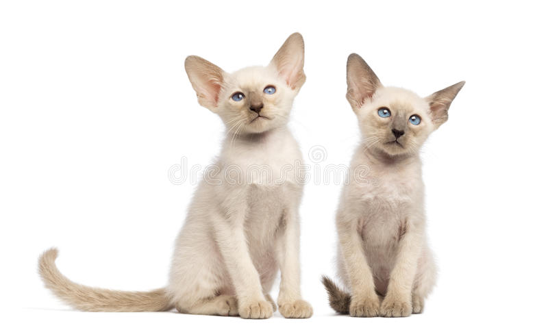 Two Oriental Shorthair kittens sitting stock photos