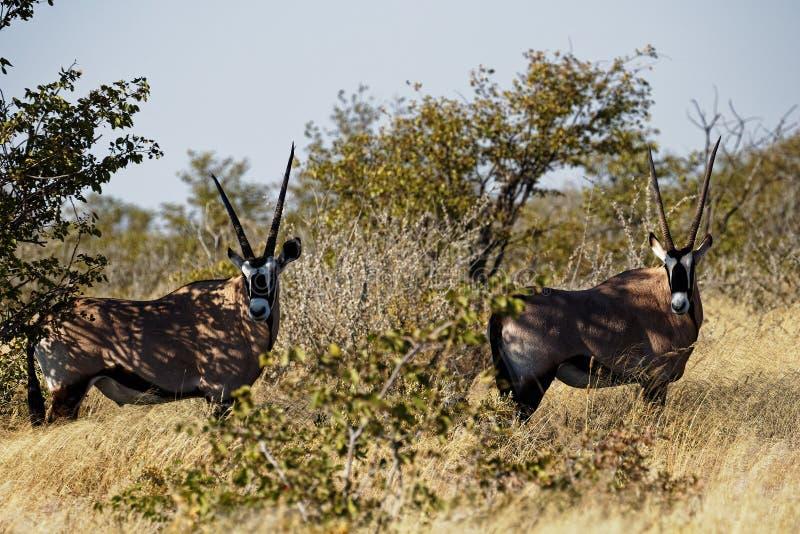 Two oryx in Etosha National Park, Namibia, Africa stock photos