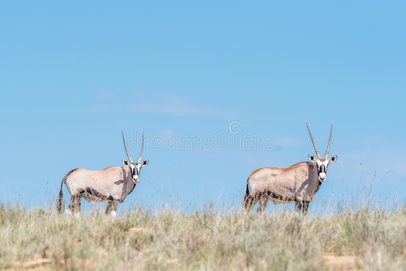 Two oryx in the Mountain Zebra National Park. Two oryx, Oryx gazella, in the Mountain Zebra National Park near Cradock in South Africa royalty free stock photo
