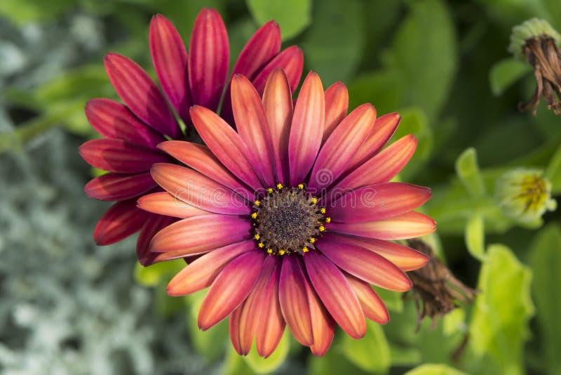 Two Osteospermum `Elite Ruby` Flowers royalty free stock image