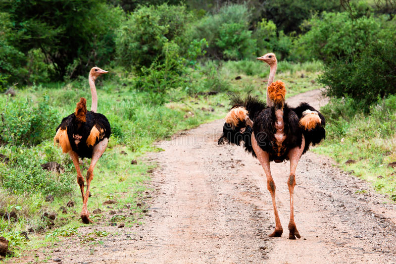 Two ostrich on road in bush, Tsavo West, Kenya royalty free stock images