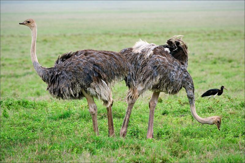 Download Two ostriches. stock photo. Image of natural, hairy, neck - 16184234