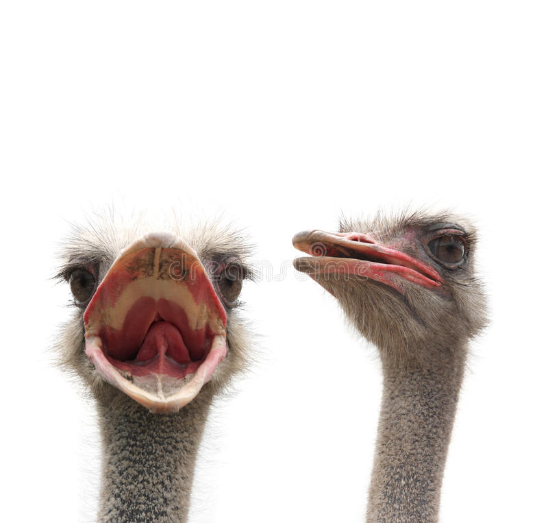 Download Two ostriches heads stock image. Image of fauna, large - 17423427