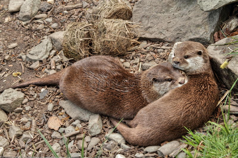 Download Two Otters stock image. Image of animal, portrait, creature - 25081573