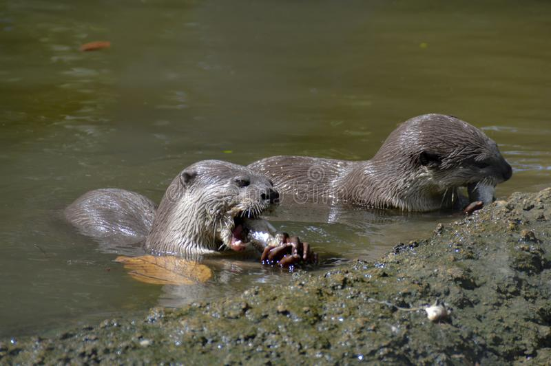 Two otters devouring their prey. In the rivers of cambodia they find enough fish to survive royalty free stock images