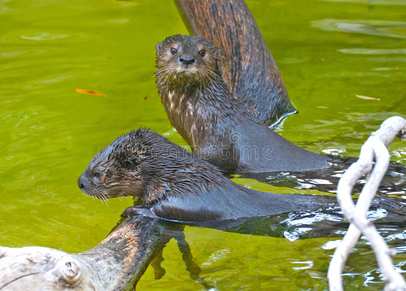 Two otters playing in the water royalty free stock image