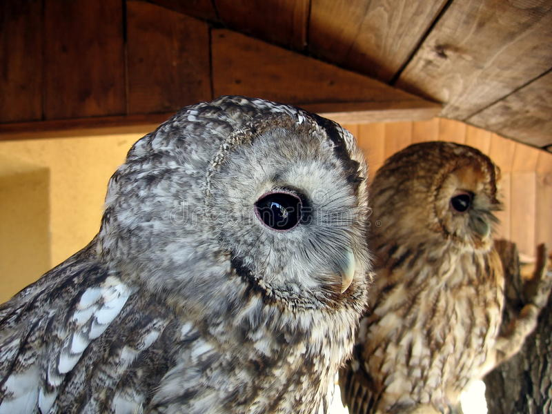 Download Two owls stock image. Image of beak, nice, strong, couple - 12949203