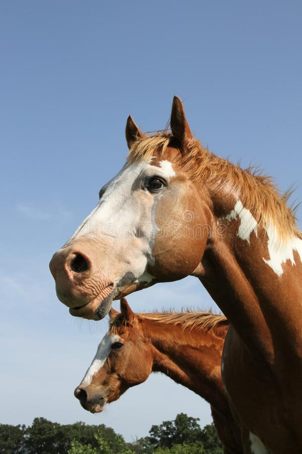 Two paint horses head and neck against blue sky royalty free stock photo