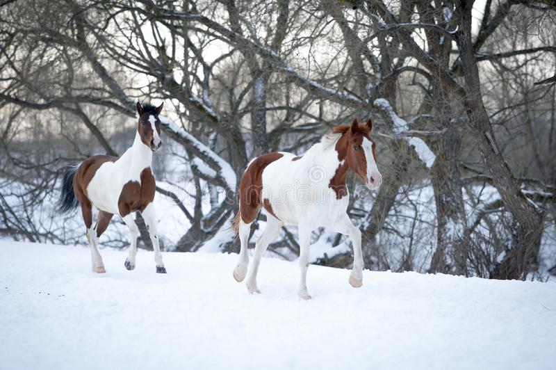 Two paint horses playing on snow in cold winter royalty free stock images