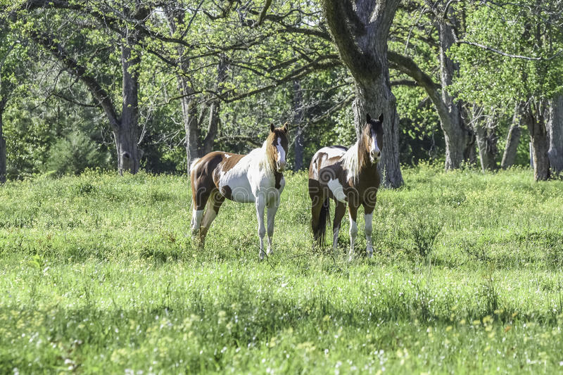 Two paint horses in a springtime pasture in Alabama. Two brown and white paint horses standing in a pecan grove in the springtime in Alabama stock photos