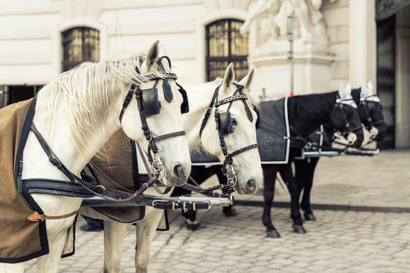 two pairs of white and black beautiful horses with carriage in Vienna historical city center near royal palace. Traditional stock photography