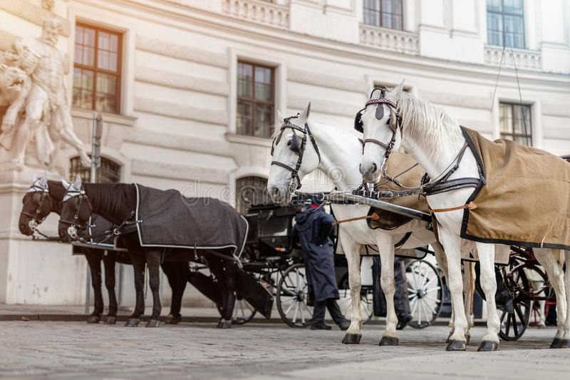 two pairs of white and black beautiful horses with carriage in Vienna historical city center near royal palace. Traditional royalty free stock image