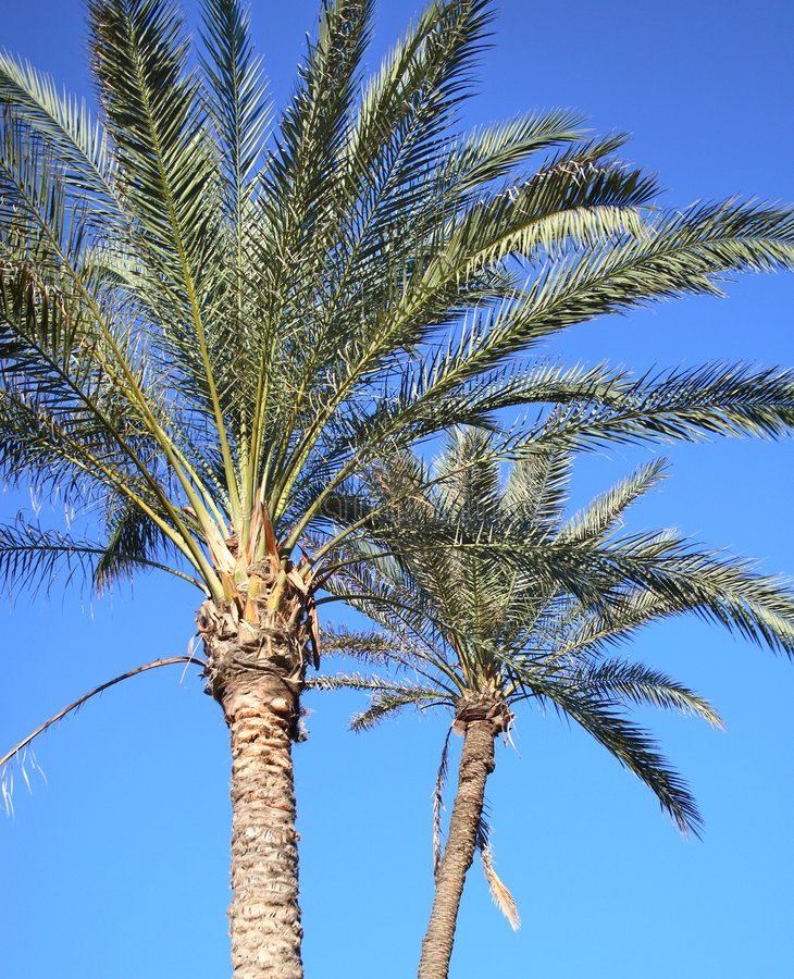 Download Two Palm Trees Stock Photography - Image: 1714912
