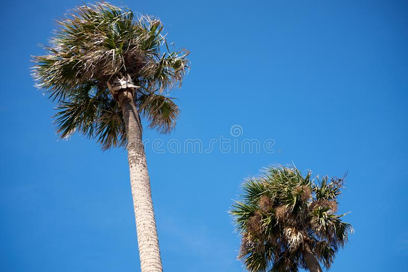 Two palm trees against a cloudless blue sky royalty free stock image