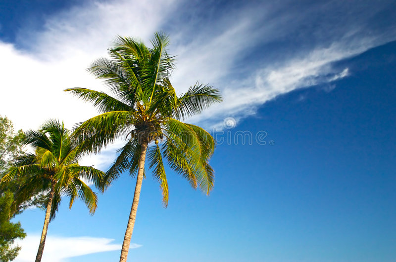 Two Palm trees and a blue sky royalty free stock photography