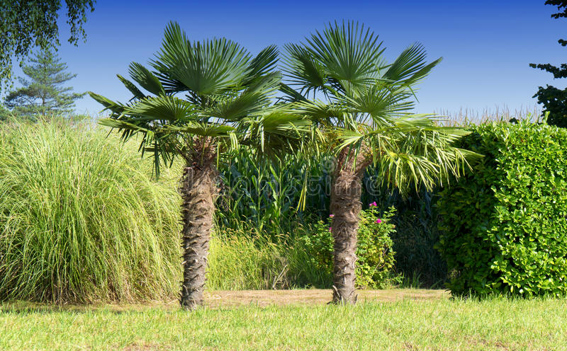 Two palm trees in the countryside stock photos