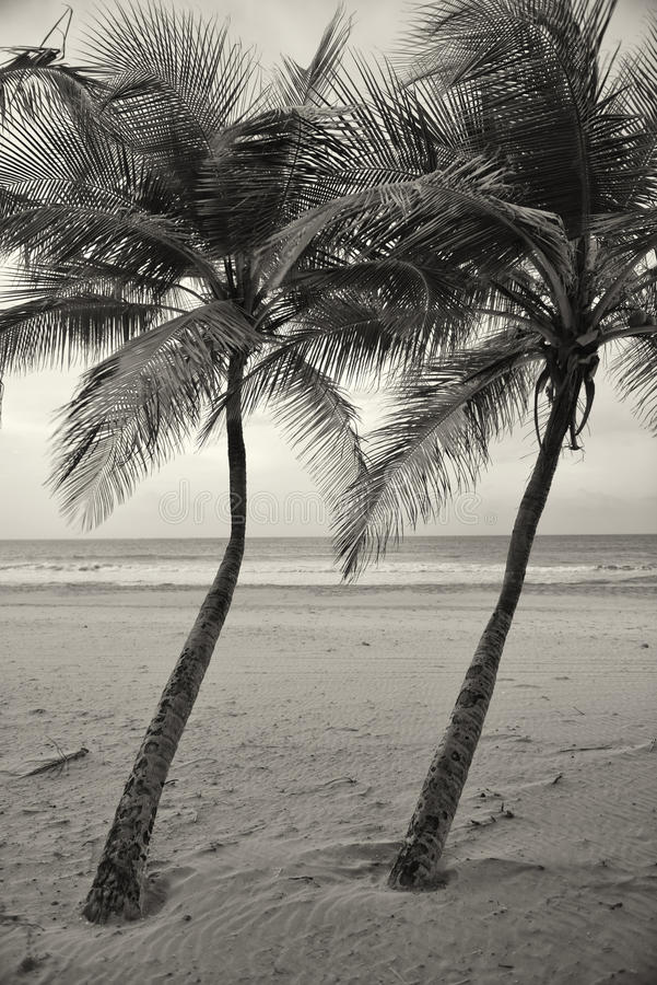 Download Two Palm trees stock photo. Image of evening, beach, dusk - 31772230