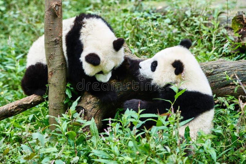 Two Panda bears cubs playing Sichuan China. Two Panda bears cubs playing Bifengxia base reserve Sichuan China stock photos