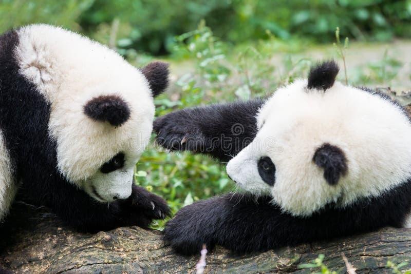 Two Panda bears cubs playing Sichuan China. Two Panda bears cubs playing Bifengxia base reserve Sichuan China stock photo