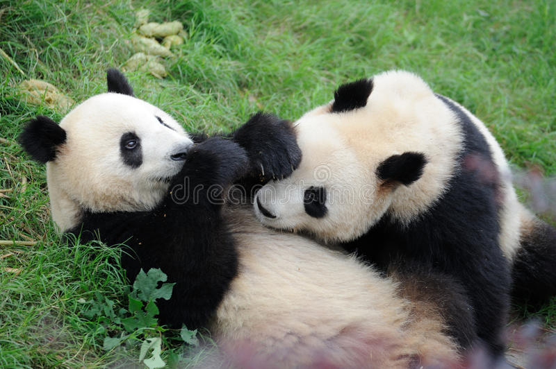 Two pandas are playing