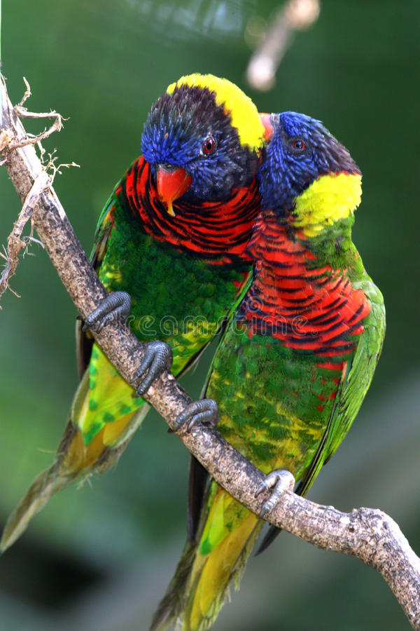 Download Two Parrots stock photo. Image of avian, parrot, forests - 11129562