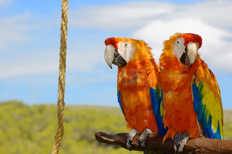 Download Two parrots stock image. Image of love, colored, tropical - 2830535