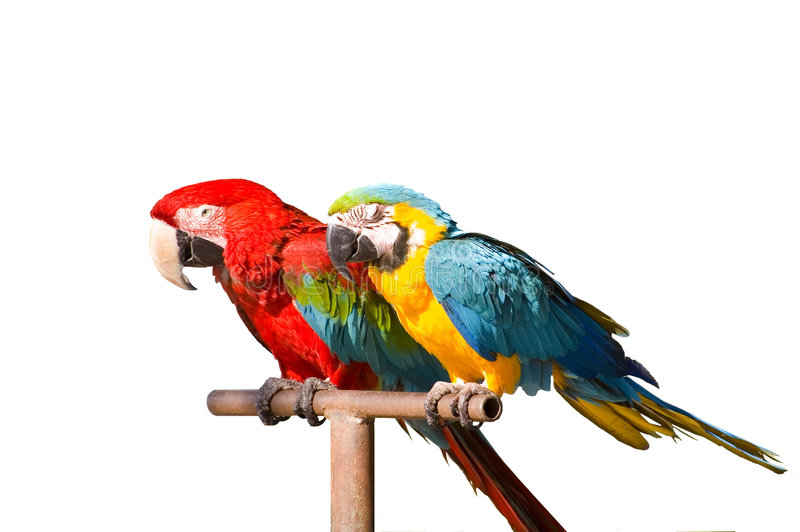 Download Two parrots stock photo. Image of maccaws, isolated, bird - 3680190